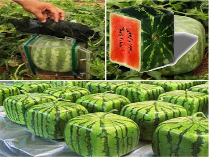 Water Melons西瓜