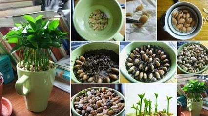 How To Grow Lemons Seeds. 如何种植柠檬种子。