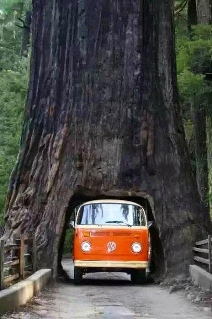 Drive Thru Tree, Sequoia National Forest, California.在加利福尼亚红杉国家公园开车穿过树。